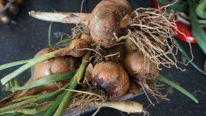 Giant onions.