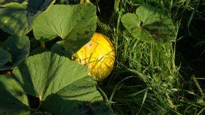 Large pumpkin growing well.