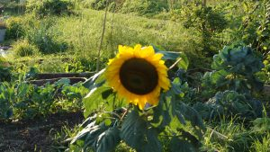 Sunflower from nowhere