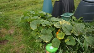 Pumpkin plant growing well.