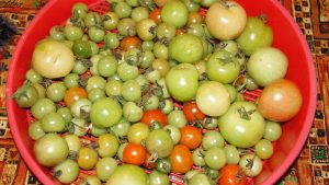 Tomatoes rescued from blight plants.