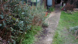 Path cleared of rosemary