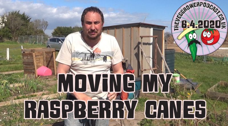In todays video I am moving some raspberry canes from my allotment to home. These canes were in the wrong place and we wanted some raspberries at home. As we are making do with what we have, it made sense to move these canes to home. The raspberry variety in this video is all gold, a yellow autumn variety. Check out the video below.