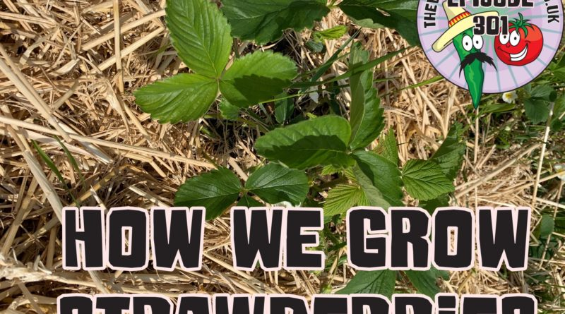 Join me today as I share with you how we grow strawberries. I also share the latest from the allotment and garden.