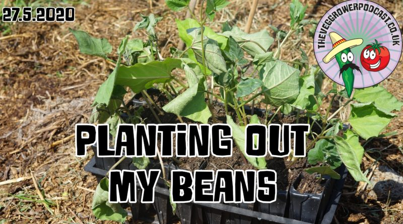 Join me in this video where I am planting out my beans. A few weeks ago I sowed some beans in my root trainers. These beans was a runner bean variety call scarlet and a climbing bean variety called Bluehilde. Well in this video its time to get them in the ground.you can watch me do this in this video.
